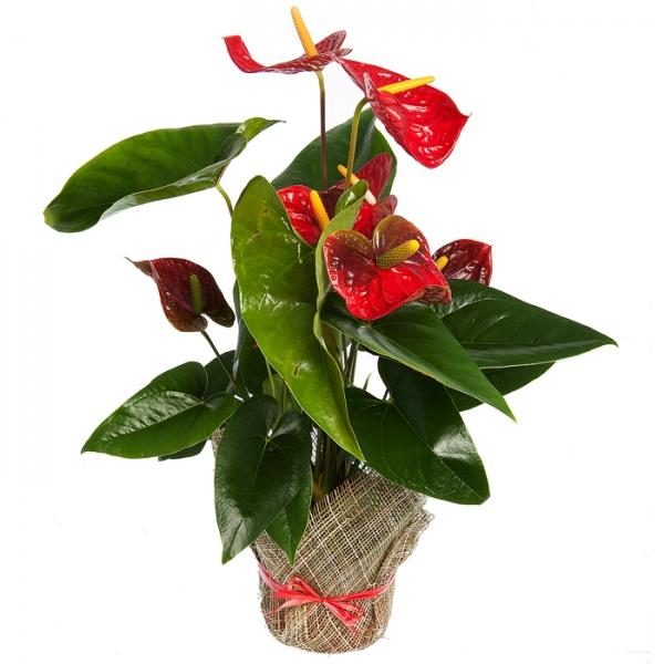 Горшечные цветы в подарок 45